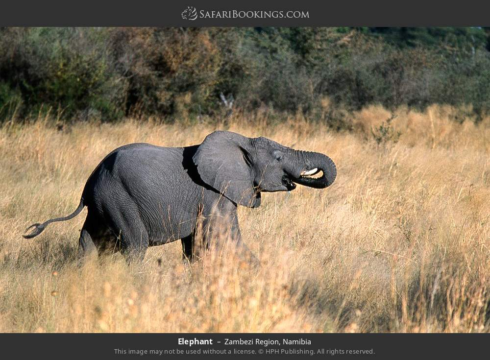 Elephant in Zambezi Region, Namibia