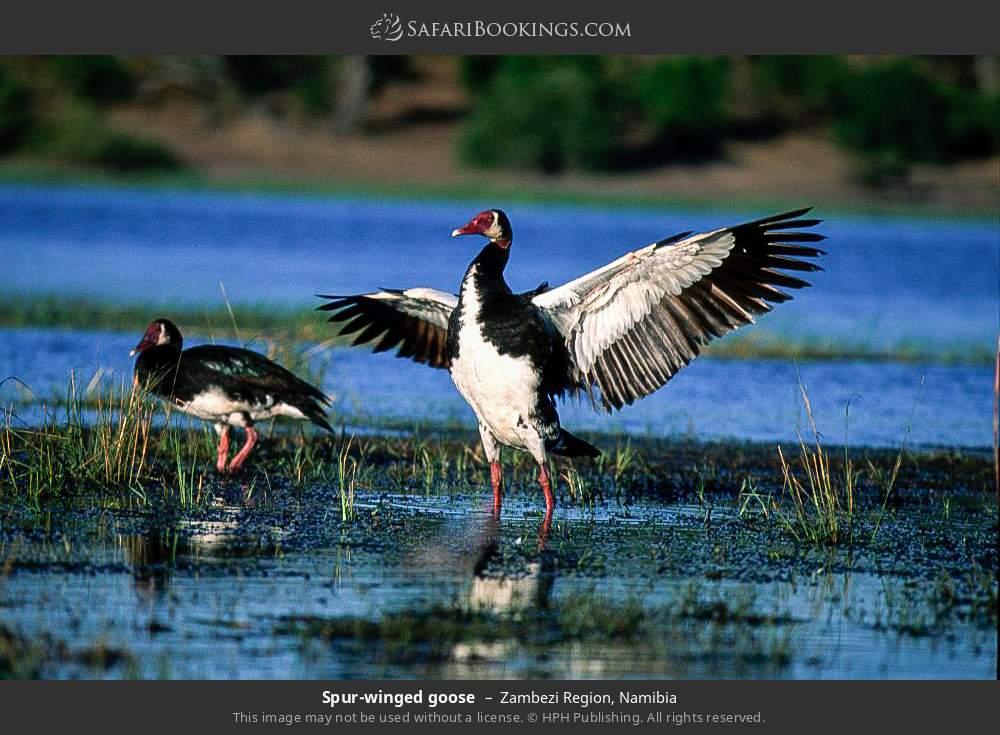 Spur-winged goose in Zambezi Region, Namibia