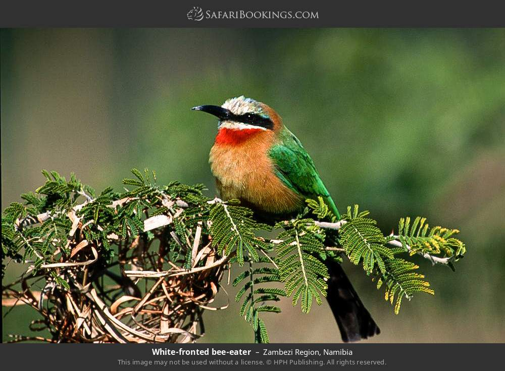White- fronted bee-eater in Zambezi Region, Namibia