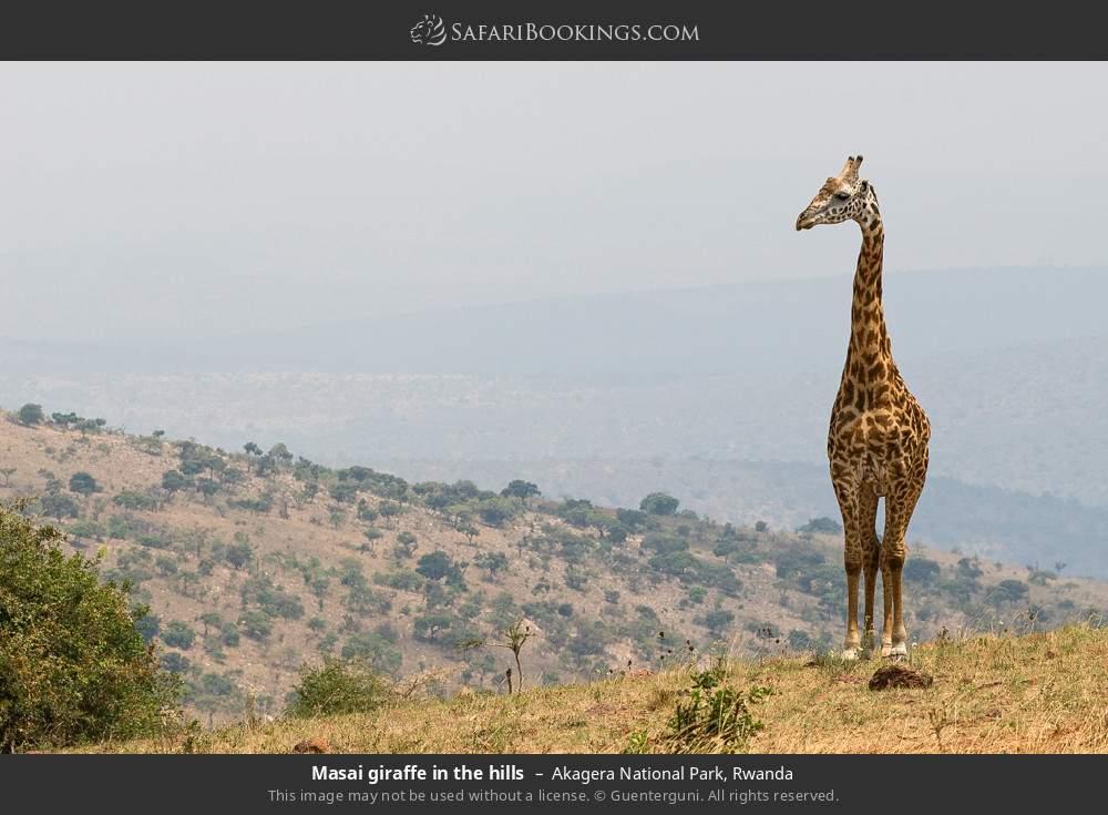 Masai giraffe in the hills in Akagera National Park, Rwanda
