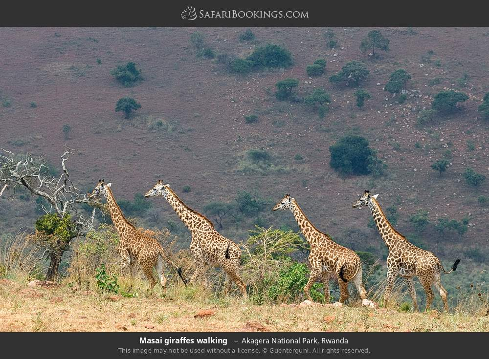 Masai giraffes walking  in Akagera National Park, Rwanda