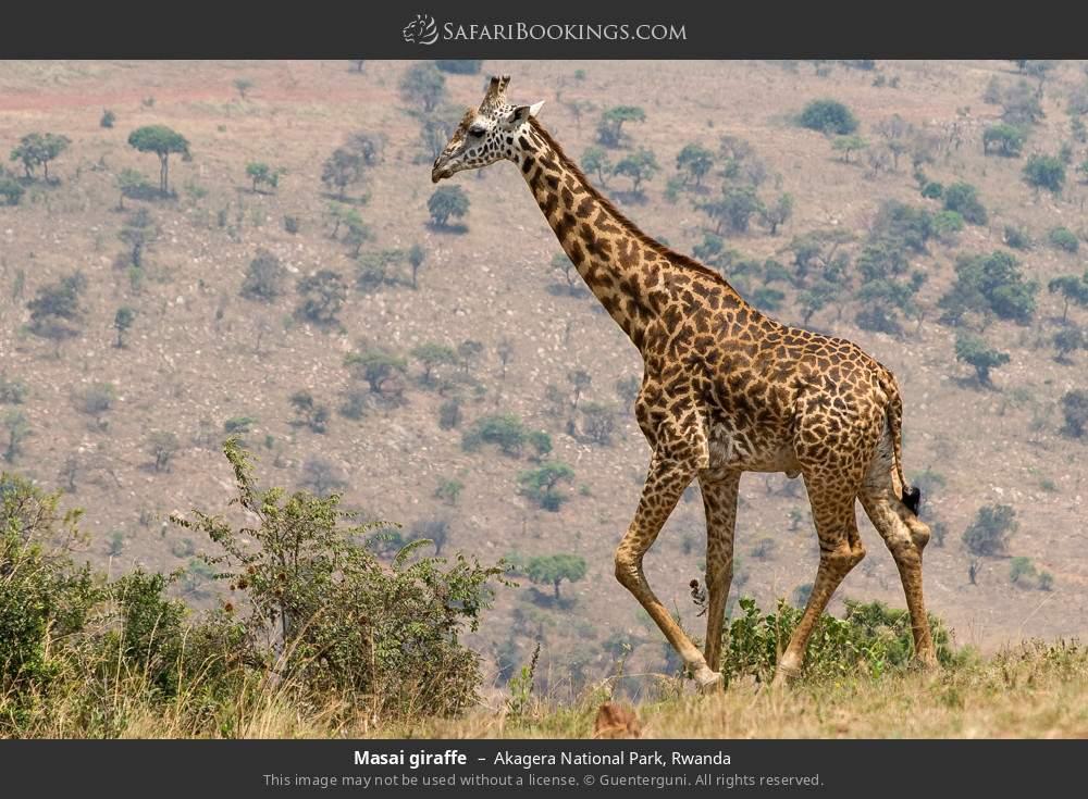 Masai giraffe in Akagera National Park, Rwanda