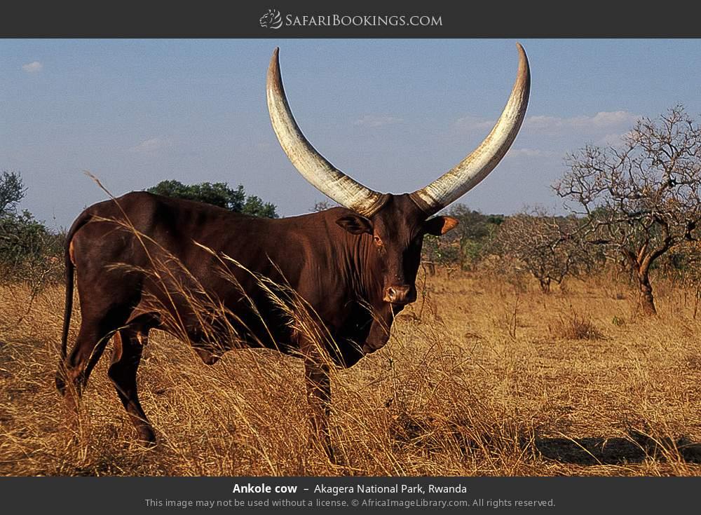 Ankole cow in Akagera National Park, Rwanda