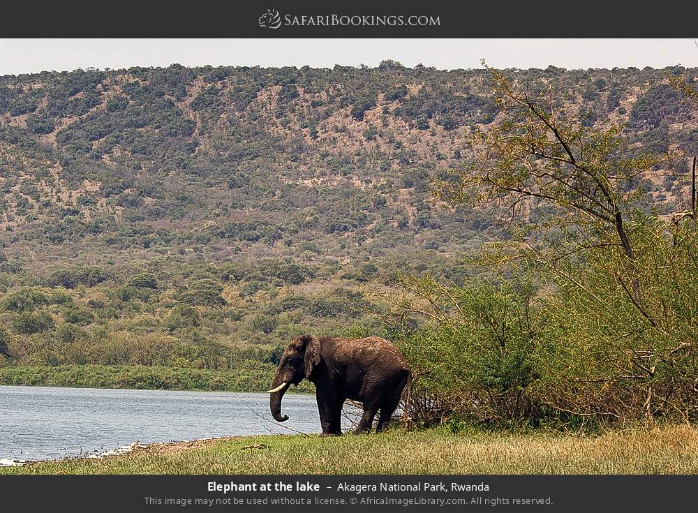 Elephant at the lake in Akagera National Park, Rwanda
