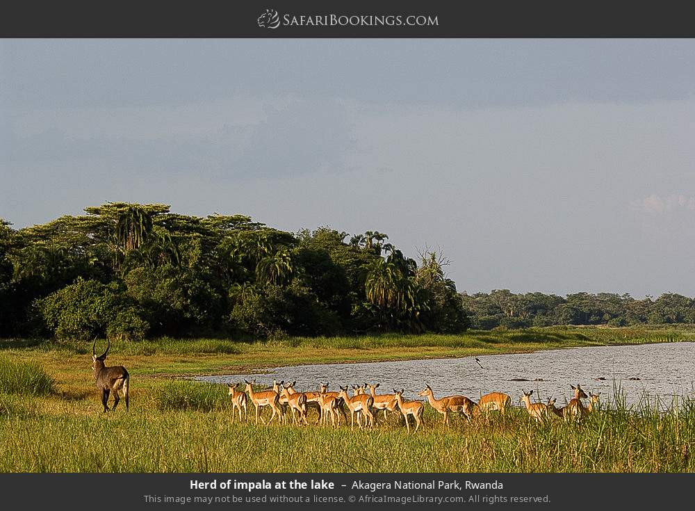 Herd of impala at the lake in Akagera National Park, Rwanda