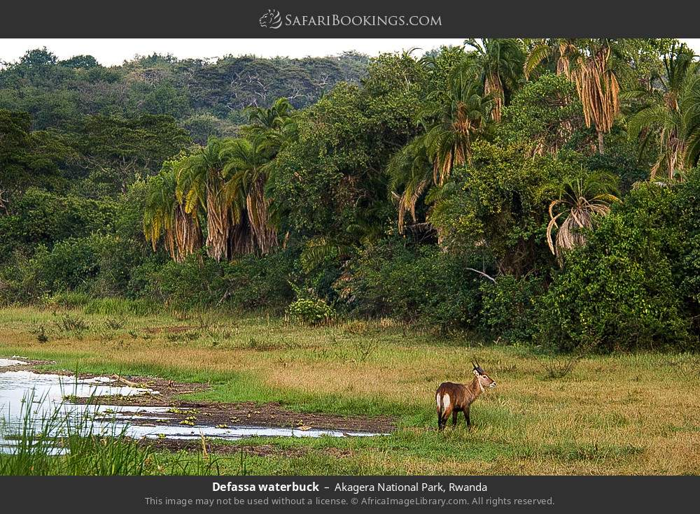 Defassa waterbuck in scenery in Akagera National Park, Rwanda