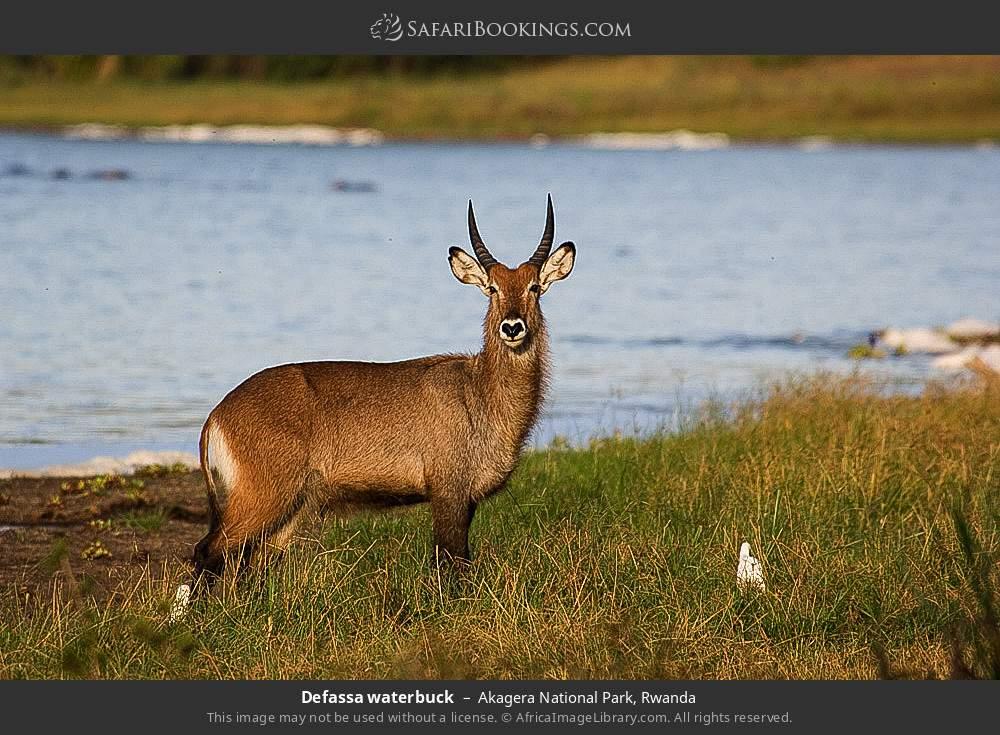 Defassa waterbuck in Akagera National Park, Rwanda