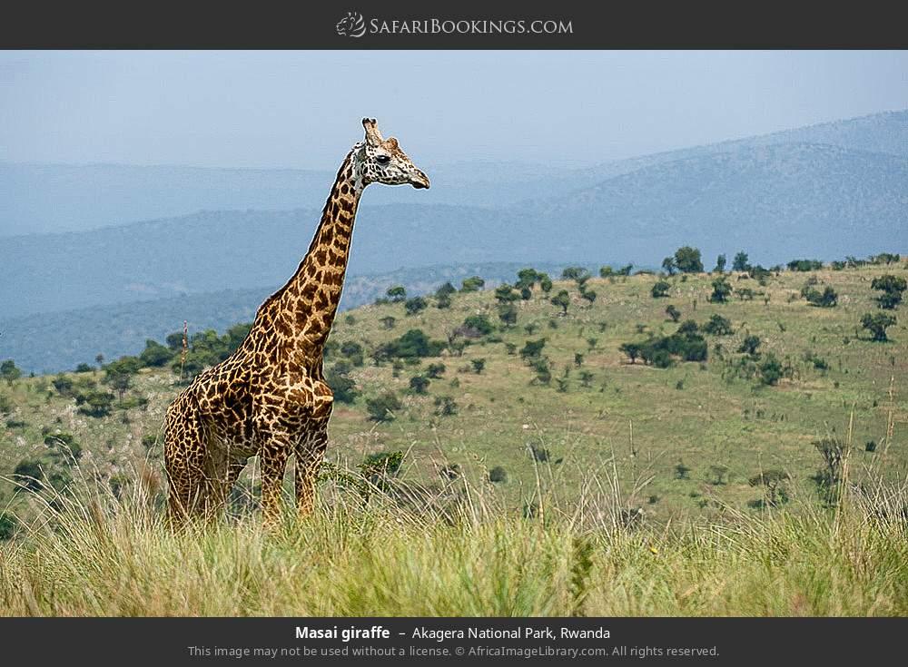 Maasai giraffe in Akagera National Park, Rwanda