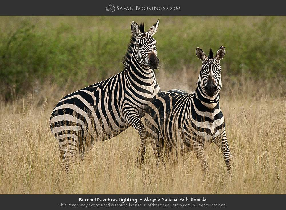 Burchell's zebras fighting in Akagera National Park, Rwanda