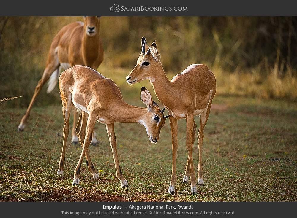 Impalas in Akagera National Park, Rwanda