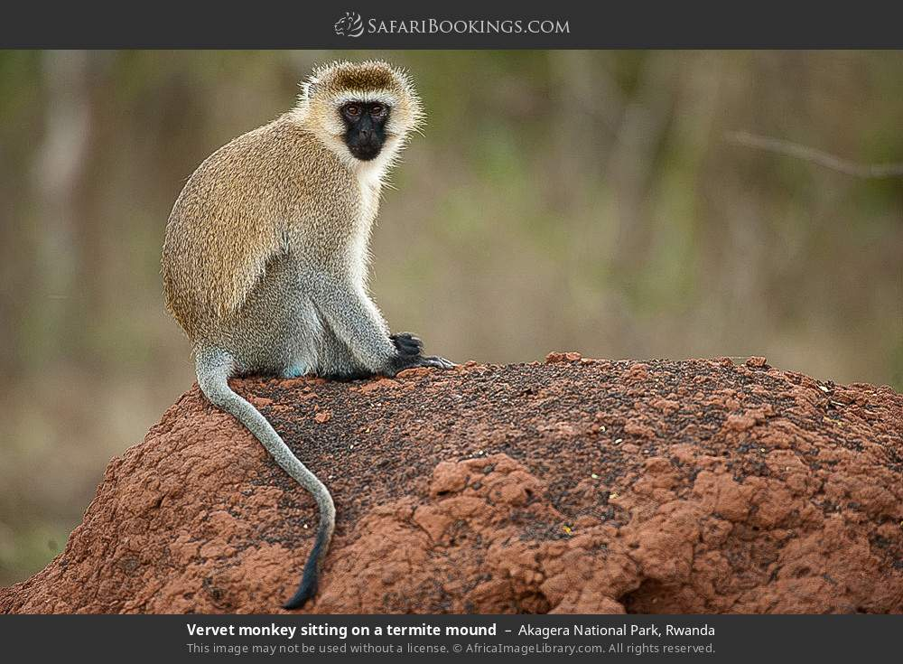Vervet monkey sitting on a termite mound in Akagera National Park, Rwanda