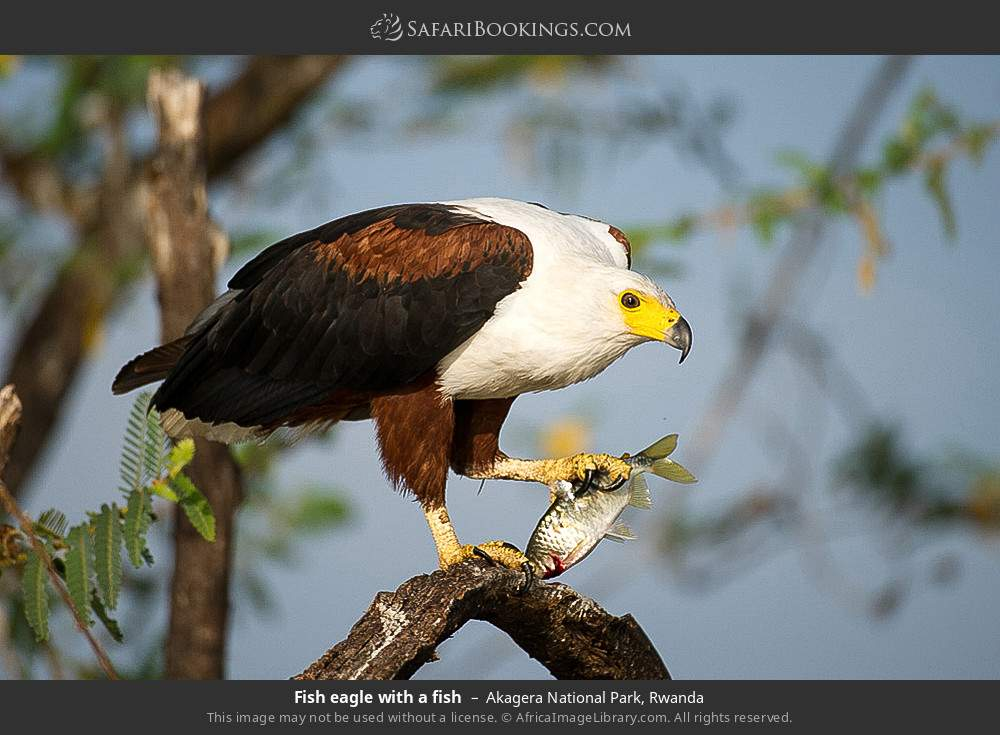 Fish eagle with a fish in Akagera National Park, Rwanda