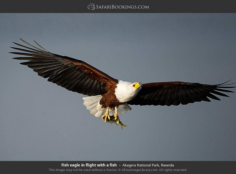 Fish eagle in flight with a fish in Akagera National Park, Rwanda