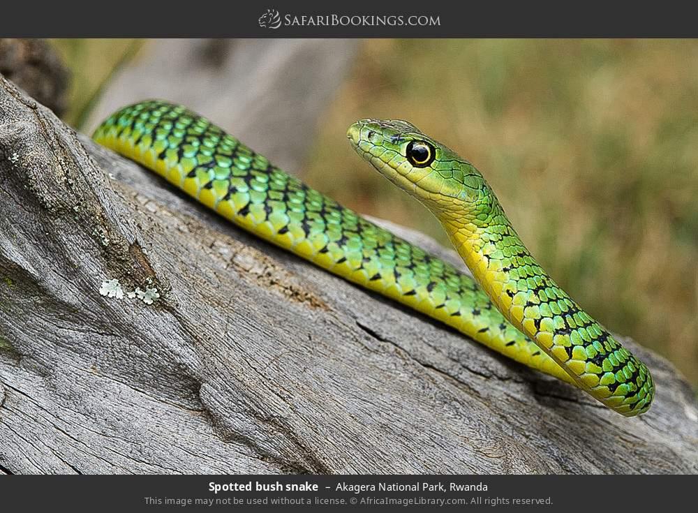 Spotted bush snake in Akagera National Park, Rwanda