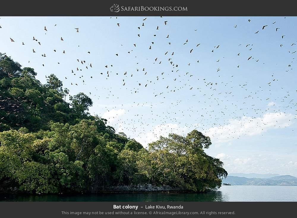 Bat colony in Lake Kivu, Rwanda
