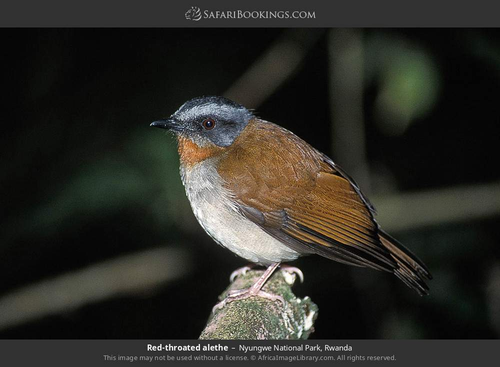Red-throated Alethe in Nyungwe Forest National Park, Rwanda
