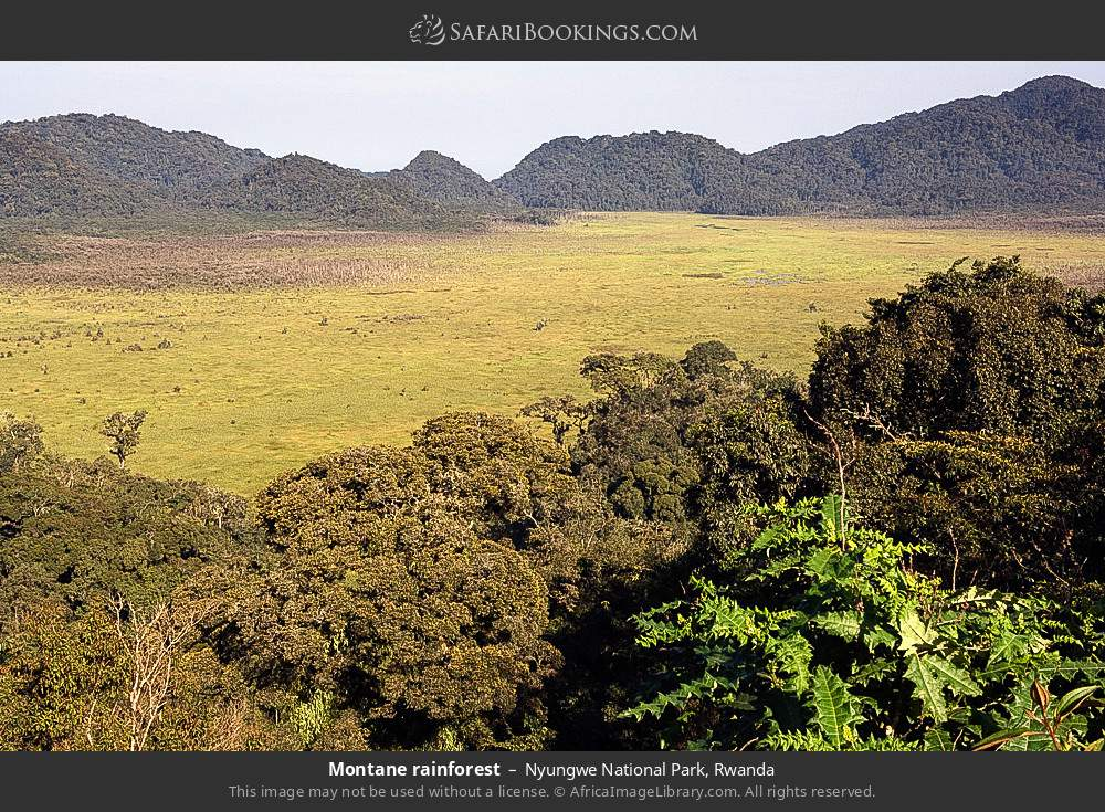 Montane rainforest in Nyungwe Forest National Park, Rwanda