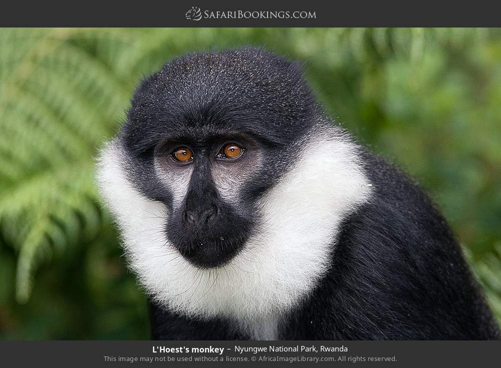 L'Hoest's monkey in Nyungwe Forest National Park, Rwanda