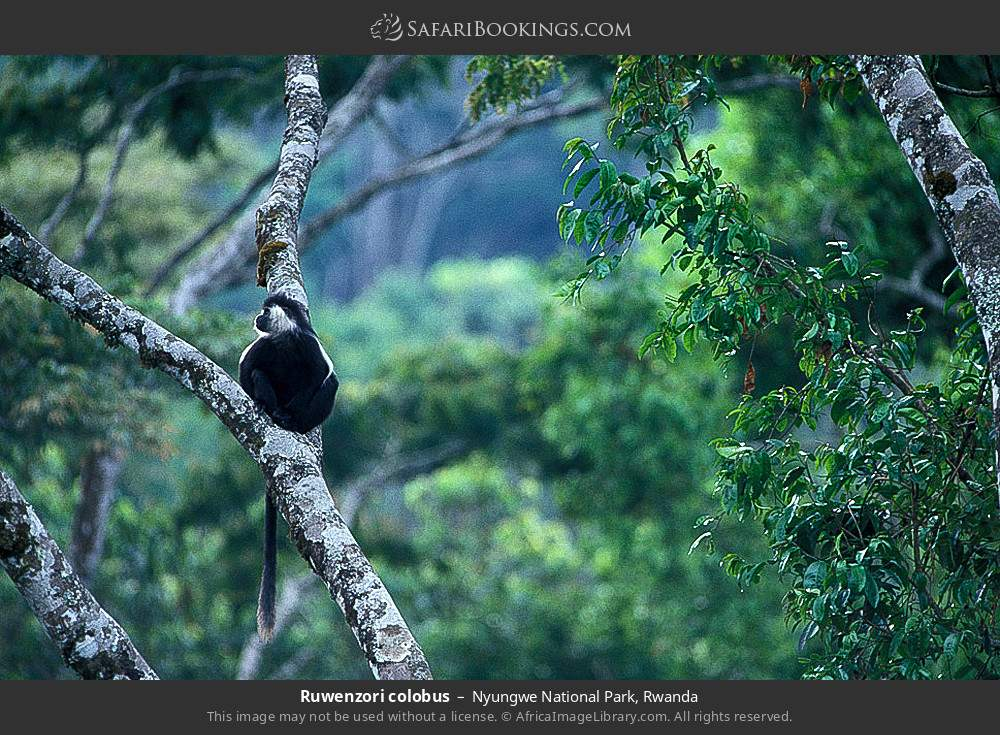 Ruwenzori colobus in Nyungwe Forest National Park, Rwanda