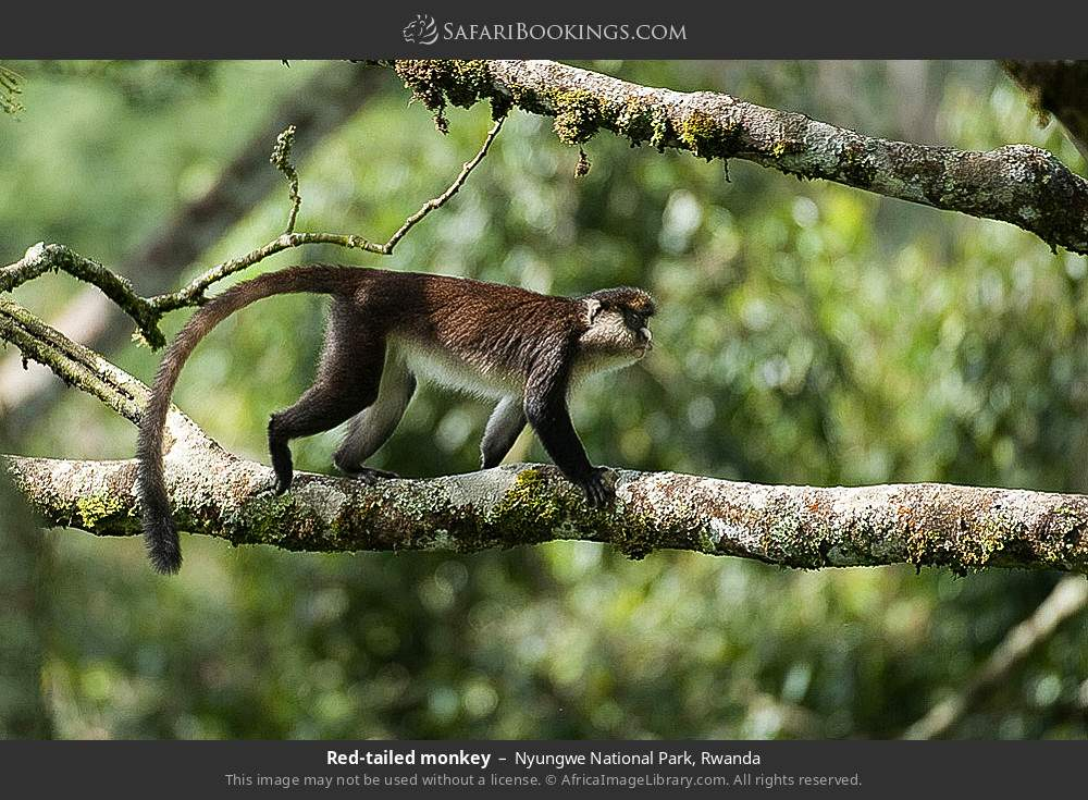 Red-tailed monkey in Nyungwe Forest National Park, Rwanda