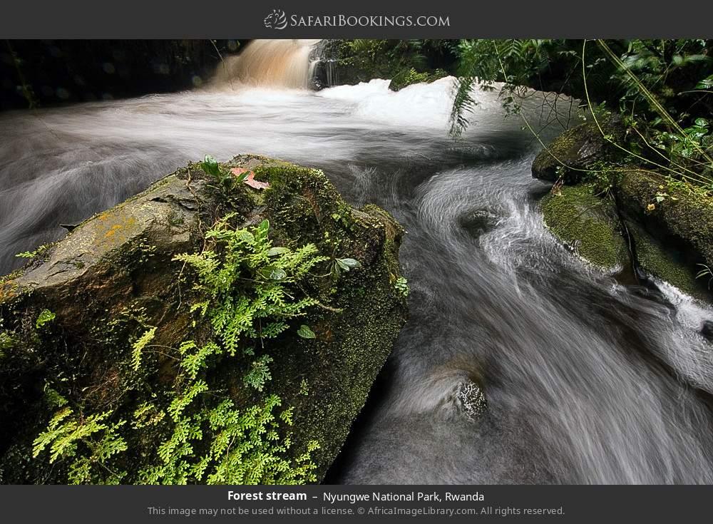 Forest stream in Nyungwe Forest National Park, Rwanda