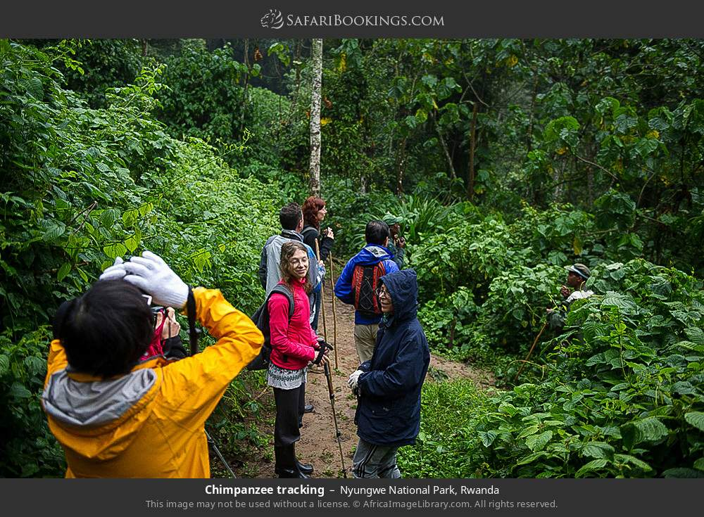 Chimpanzee tracking in Nyungwe Forest National Park, Rwanda
