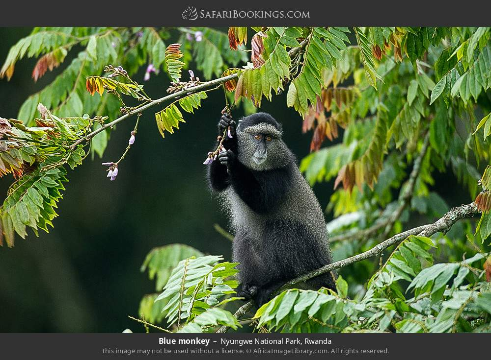 Blue monkey in Nyungwe Forest National Park, Rwanda