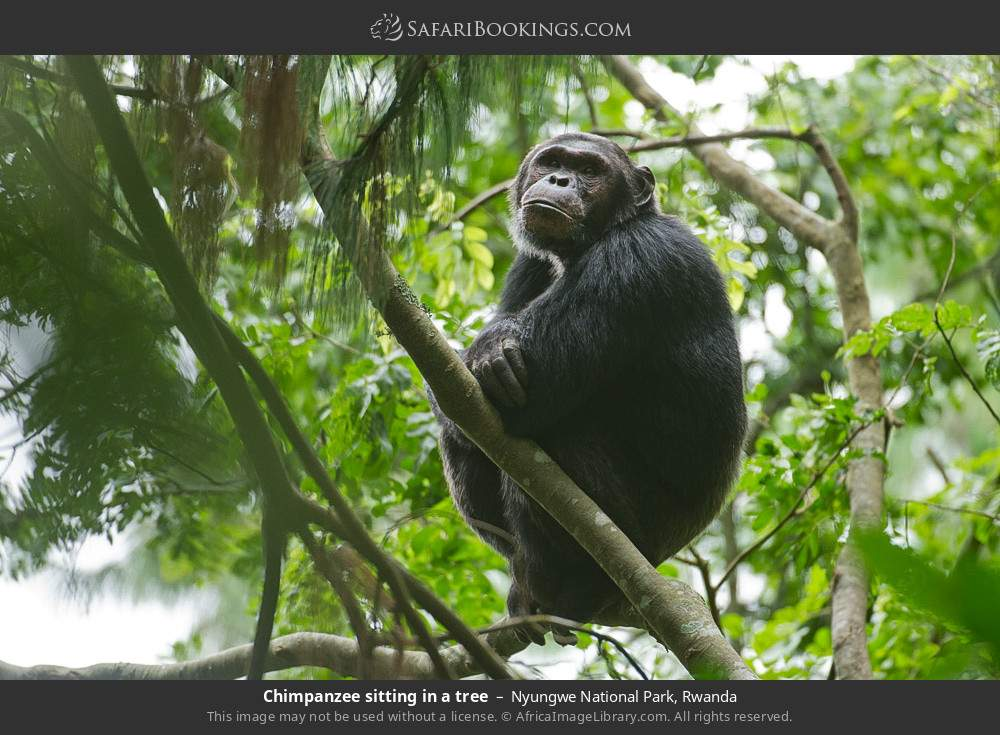 Chimpanzee sitting in a tree in Nyungwe Forest National Park, Rwanda