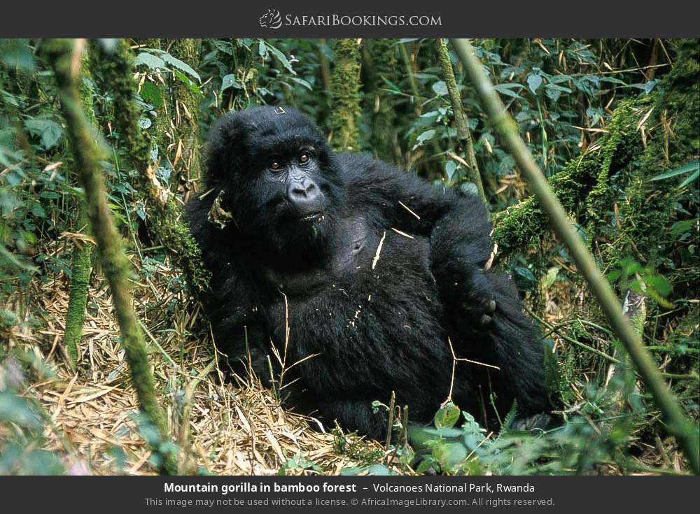 Mountain gorilla in bamboo forest in Volcanoes National Park, Rwanda