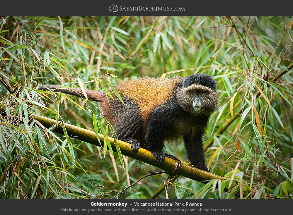 Golden monkey in Volcanoes National Park, Rwanda