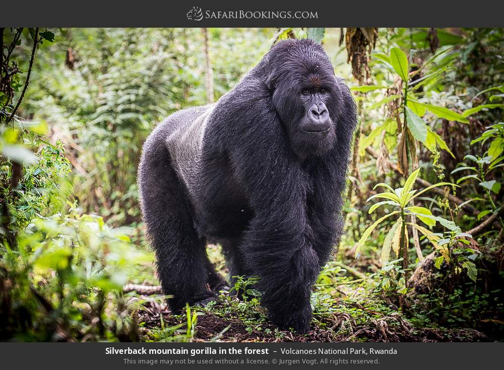 Silverback mountain gorilla in the forest in Volcanoes National Park, Rwanda