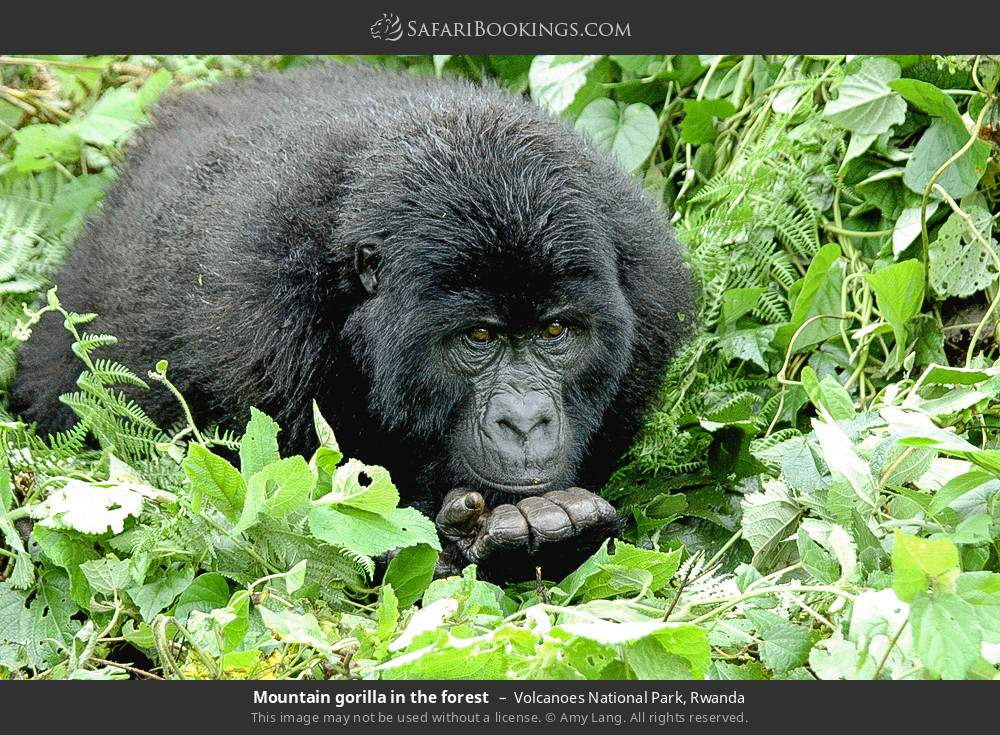Mountain gorilla in the forest in Volcanoes National Park, Rwanda
