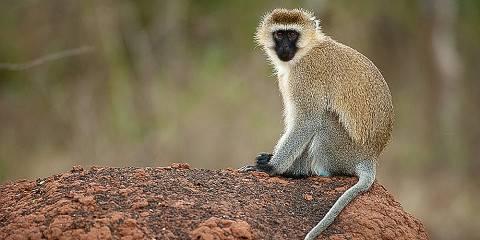 7-Day Chimpanzee Gorillas & Golden Monkey Rwanda Safari