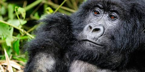 4-Day Mountain Gorillas in Rwanda - with Tracking Permit