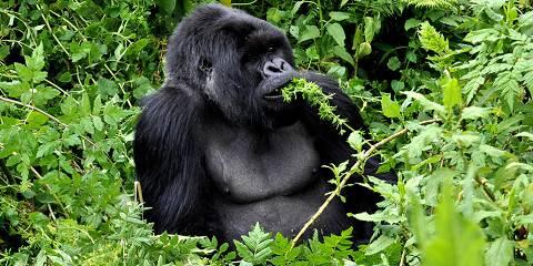 2-Day Rwanda Gorilla Trekking Trip