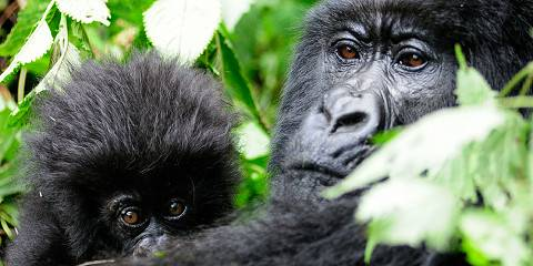 2-Day Mountain Gorilla Trekking in Rwanda
