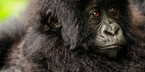 2-Day Rwanda Gorilla Trekking Safari