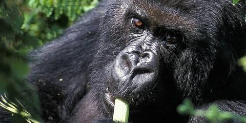 2-Day Rwanda Gorilla Tracking Safari