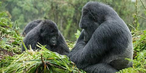 3-Day Mountain Gorilla Trekking in Rwanda