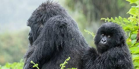 1-Day Gorilla Safari Rwanda