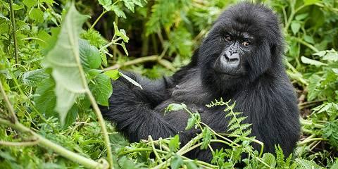 3-Day Dian Fossey Hiking & Gorilla Trekking Safari