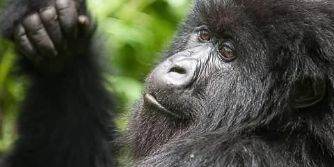 4-Day Gorilla Trekking Tour of Rwanda