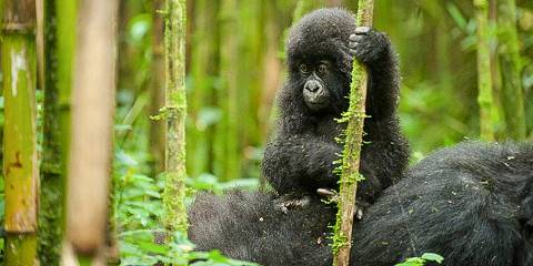 4-Day Gorilla Trekking & Golden Monkeys