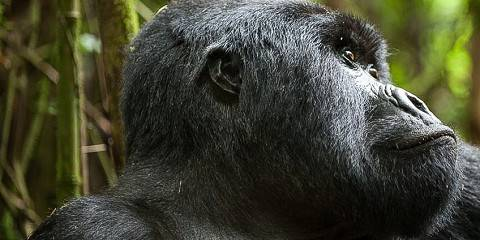 Gorillas in Uganda and Rwanda- Value for Money