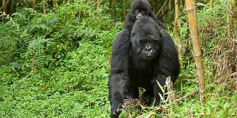 11-Day Gorillas, Masai Mara and Zanzibar