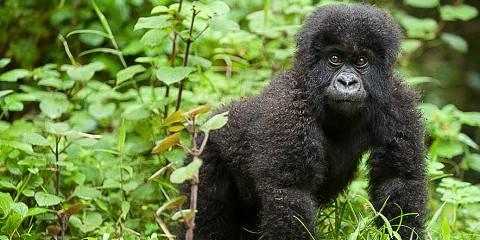 3-Day Rwanda Gorilla Express W/ Golden Monkey Tracking