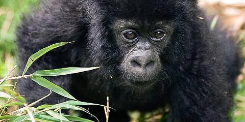 11-Day Virunga Primates and Mafia Island