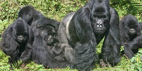 1-Day Gorilla Trekking Volcanoes National Park