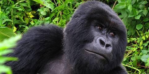 2-Day Gorilla Trakking Volcanoes National Park