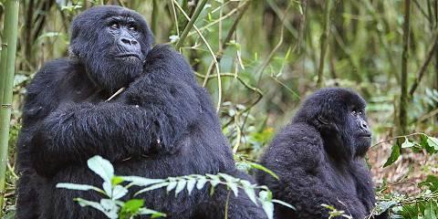 3-Day Gorilla Trekking Safari Rwanda